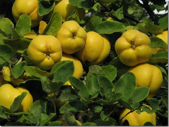 Quince, Fruit Tree Specification & Rootstocks Guide