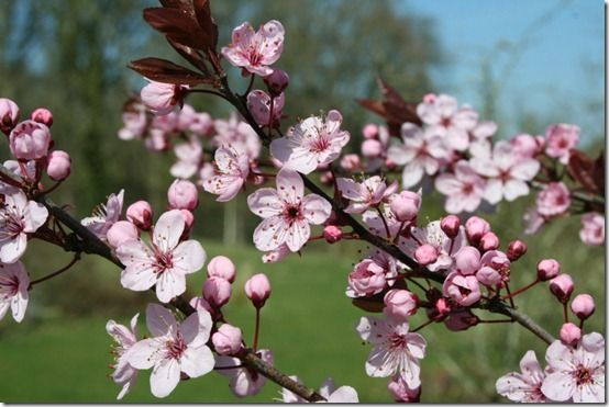 Prunus 'Spring Glow'