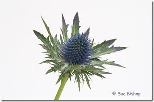 sea holly at f32