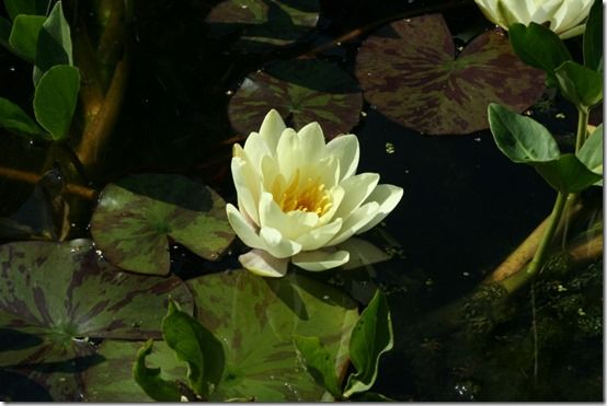 Nymphaea marliacea 'Chromatella' 2