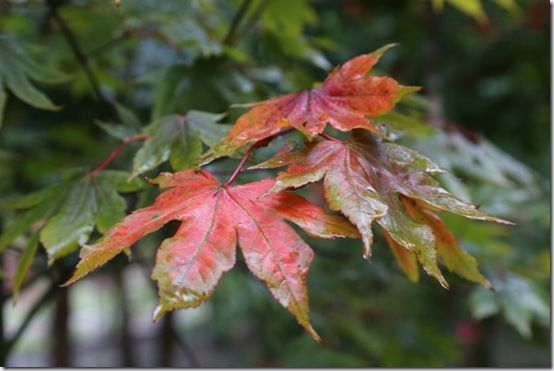 9.Acer 'Redwing'
