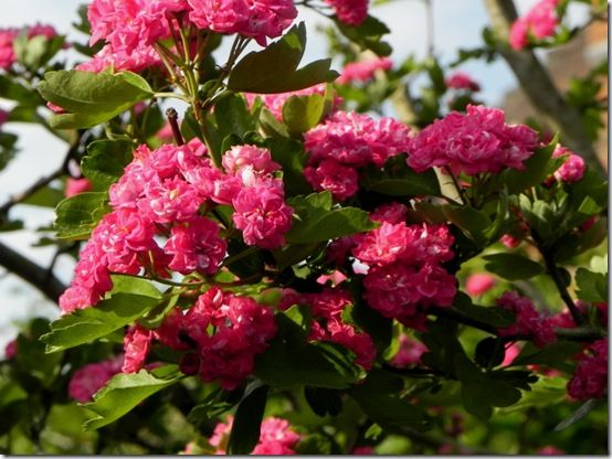 Top ten small flowering trees gardening crataegus pauls scarlet variety of hawthorn with clusters of crimson flowers in late spring elegant habit no autumn colour and no fruits but worth mightylinksfo