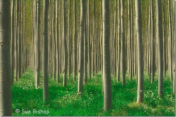 poplars horizontal