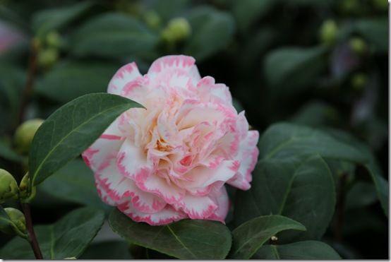 Camellia 'Margaret Davis'