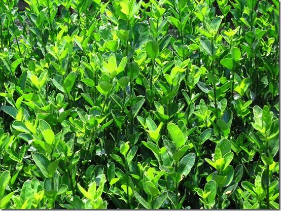 Euonymus japonicus 'Green Spire' 1