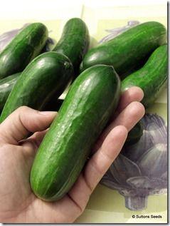 Cucumber Iznik F1<br /> <br>Hild