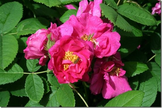 Rosa gallica 'Officinalis' The apothecary's rose