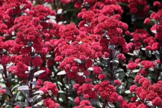 Sedum 'Red Cauli'