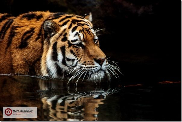 Tiger, Pet Photography, How to, Animals, Selective focus