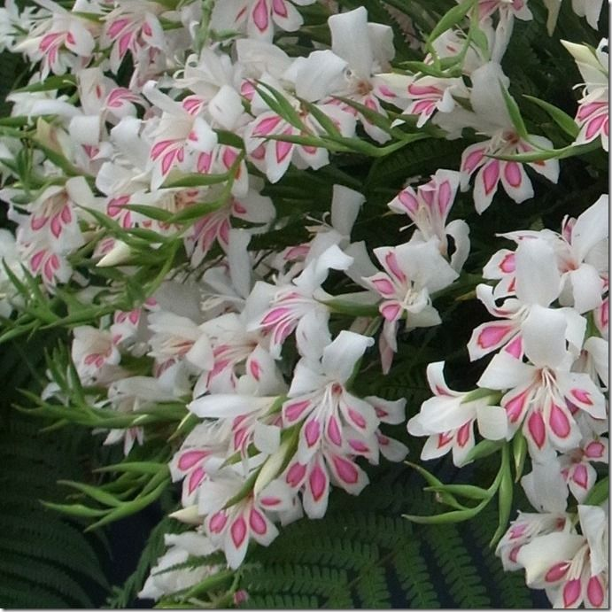 2 Gladiolus 'Prins Claus'