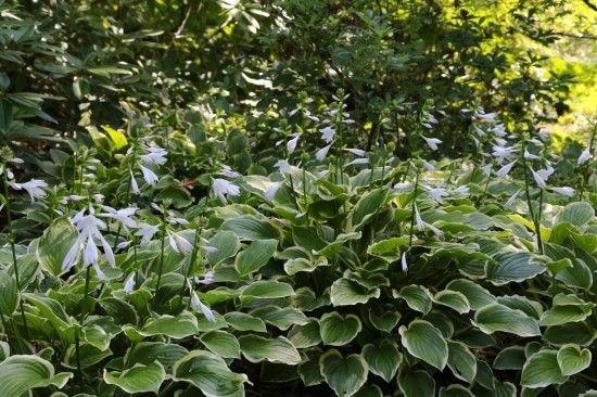 2 Hosta 'So Sweet'