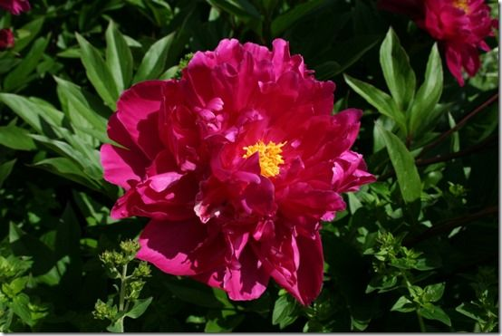 paeonia 'Lord kitchener'
