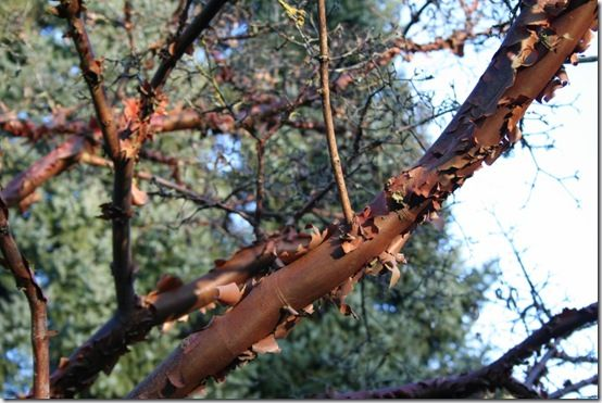 1 Acer griseum - branches