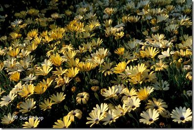 osteospermums overview