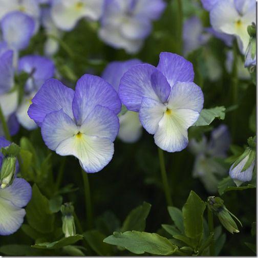 Viola Fiona Lawrenson, a perennial viola.