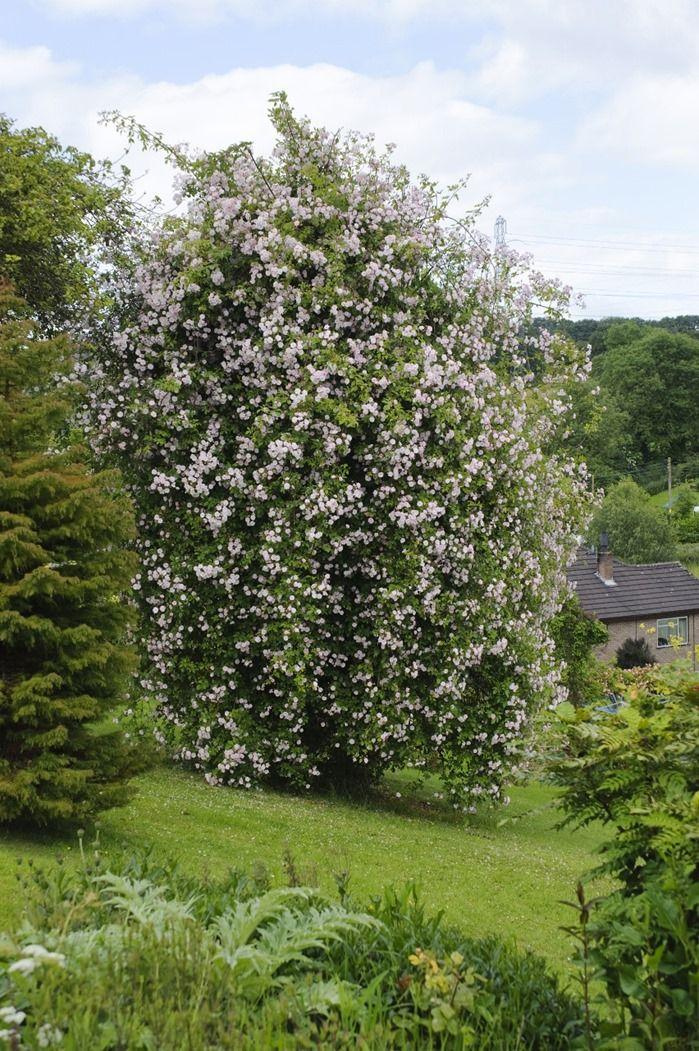 Rosa 'Paul's Himalayan Musk' over apple tree. Benthall