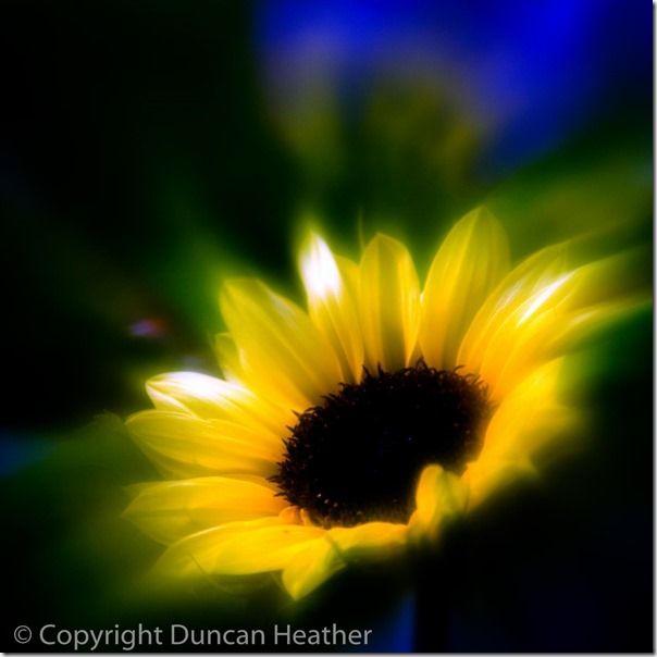 Sun Flower (Soft Filter) _X4C6120