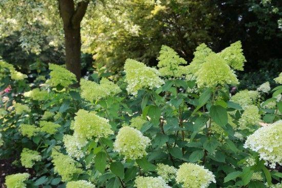 11 Hydrangea paniculata 'Limelight' (800x533)