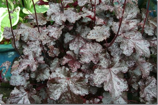 Heuchera 'Licorice' 2