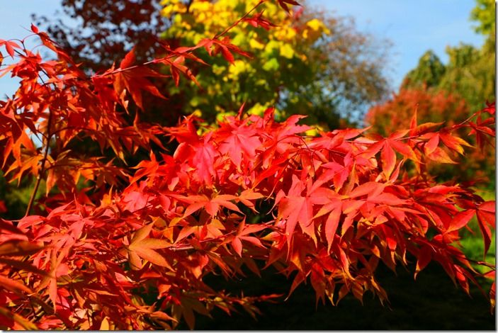 9 Acer palmatum 'Korean Gem'