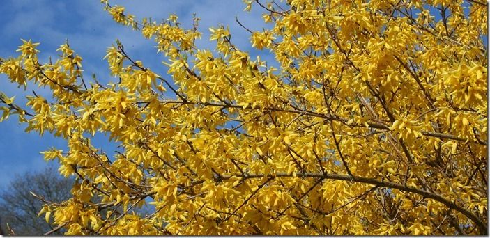 1a Forsythia x intermedia (2000x967)