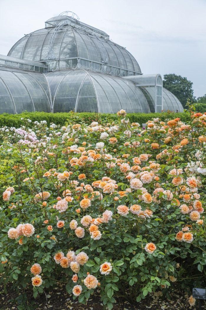 Rosa 'Port Sunlight'. Kew Rose Garden