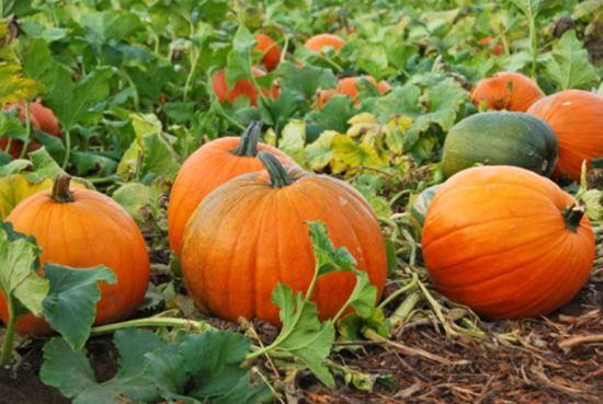 pumpkins growing