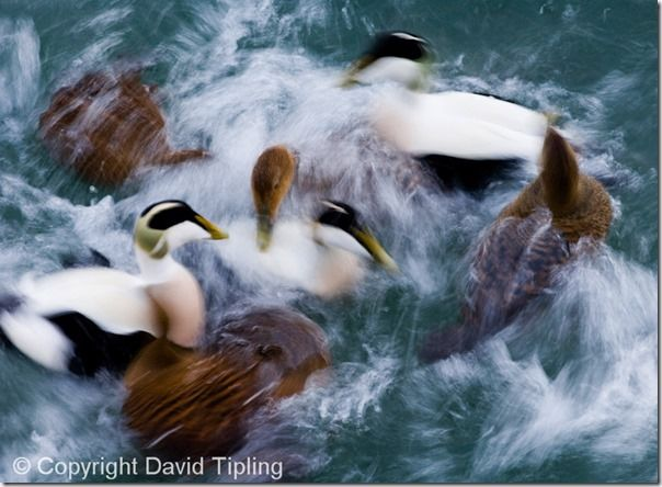 Eiders Somateria mollissima Northumberland winter, Focus, Focusing errors, Focusing, Bird, Movement, Panning, Lomg exposure, prefocus, Photography, Low Light, single point AF, continuous, AI servo, AF for tracking, pre-focus, David Tipling, Online course,