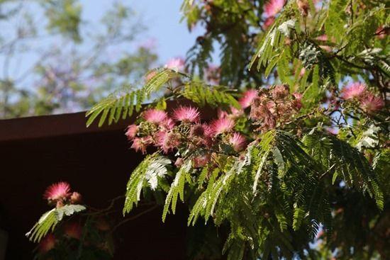 4 Albizia julibrissin (1280x853)