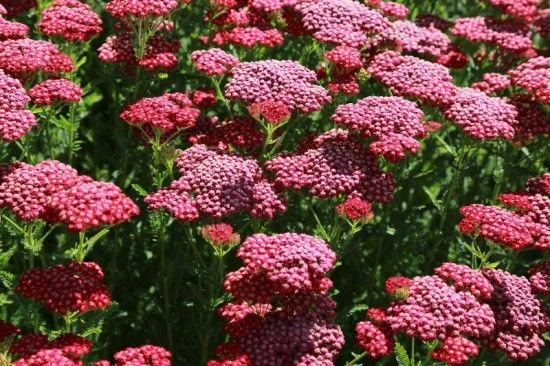 11 Achillea New Vintage Red (800x533)