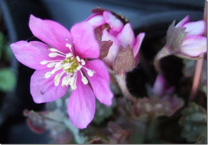 9 Hepatica nobilis