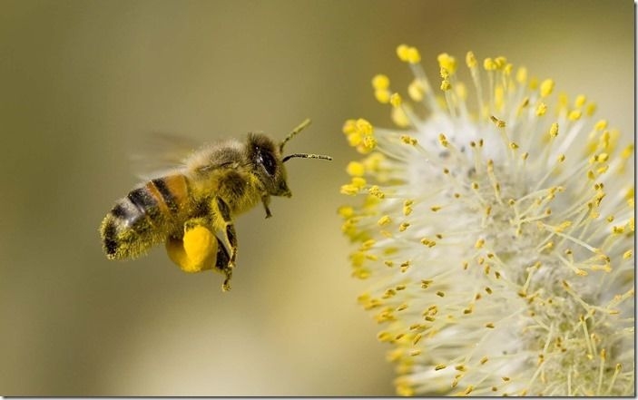 2 Honey bee with willow