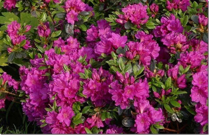8 rhododendron 'Geisha 'Purple'
