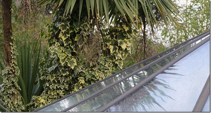 5 Hedera on cordyline