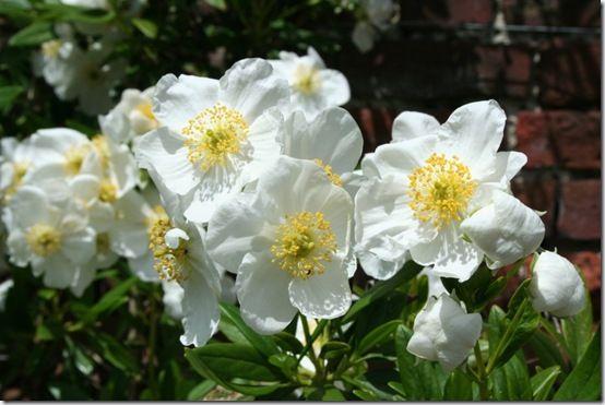 6 Carpenteria californica - good