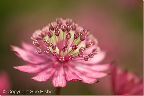 25 astrantia major claret