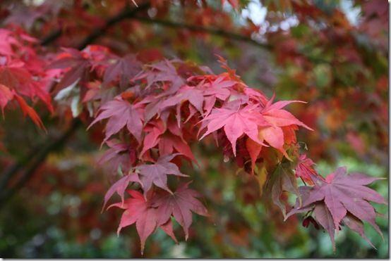 Acer palmatus 'Osakazuki'