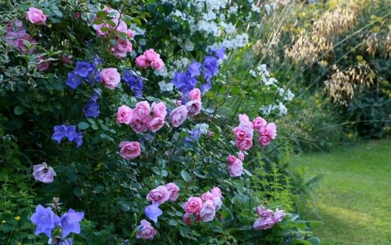 Rosa 'Bonica' and campanulas
