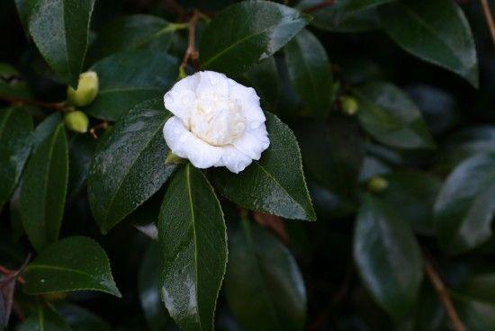7 Camellia japonica