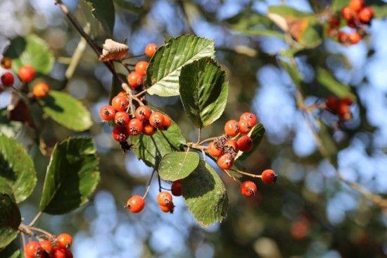 Sorbus bakonyensis