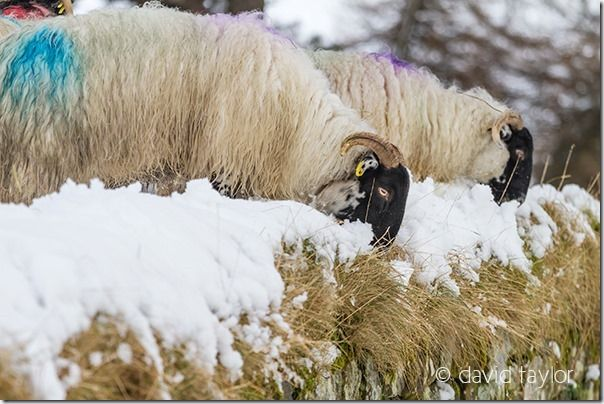 Blackface sheep on Hadrian's Wall near Housesteads Fort in the snow, Northumberland National Park, England