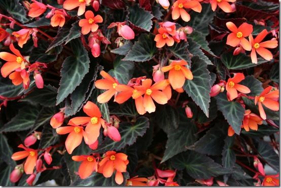 Dark leaved begonia