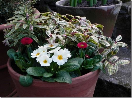 2 Double red bellis and primroses with leucothoe