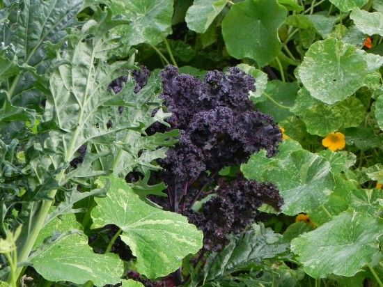Purple and Red Russian Kale