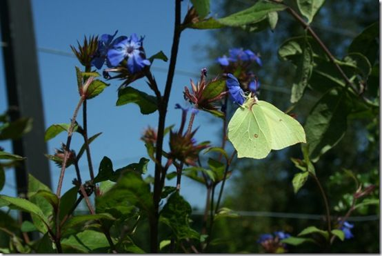 Butterfly on ceratostigma