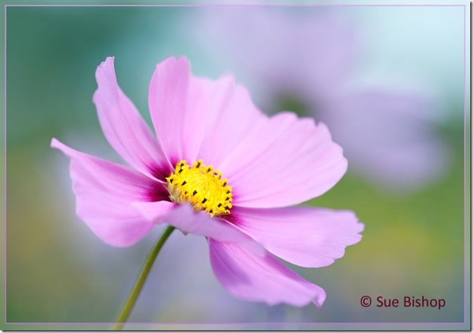 Photographic Style, Technique, depth of field, shallow, photographing, flower photography, Sue Bishop