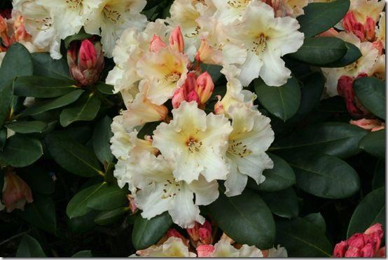 Rhododendron 'Horizon Monarch' - close