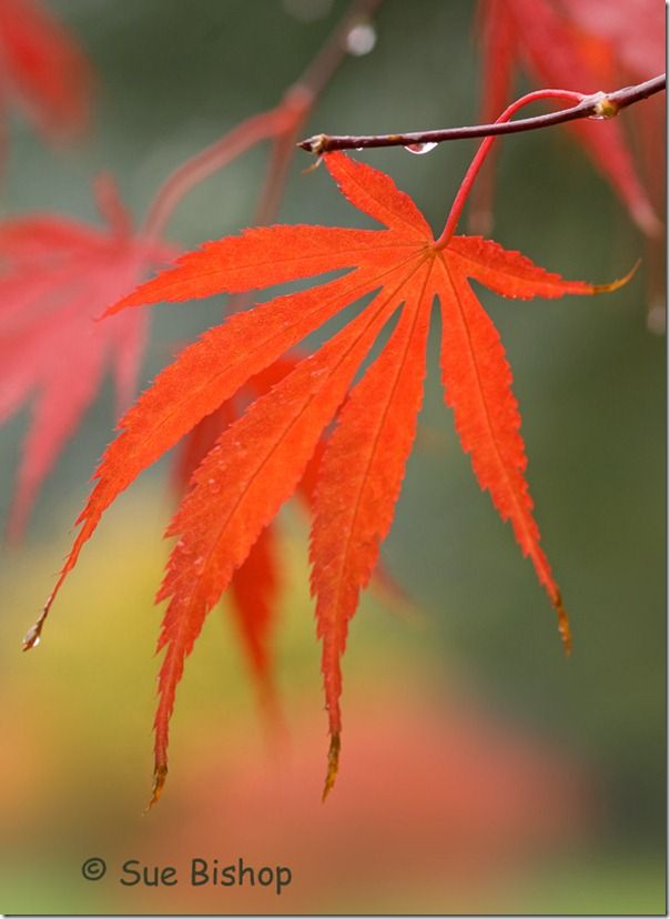 autumn acer leaf