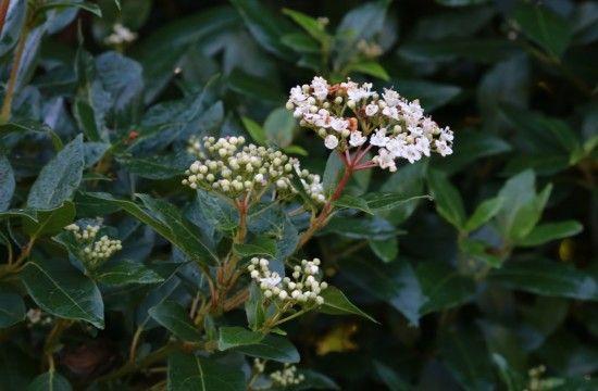 6 Viburnum tinus