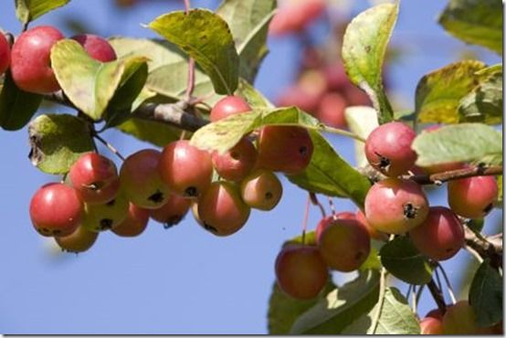 crab appletree, damson, Fruit Tree Specification & Rootstocks Guide